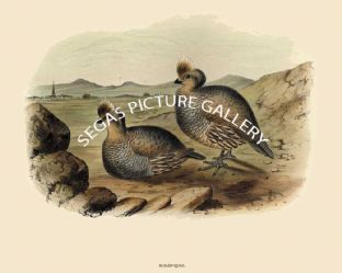 Quail, Scaled or Blue Partridge or Scaly Partridge by John Cassin